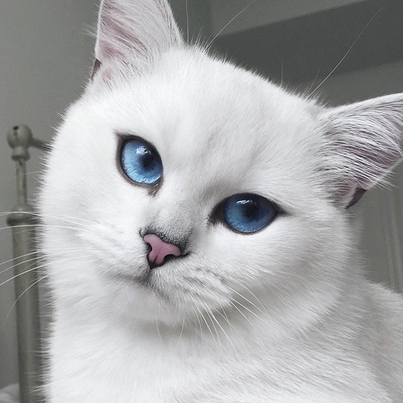 ce-chat-aux-yeux-bleus-va-litteralement-vous-hypnotiser-389539.jpg
